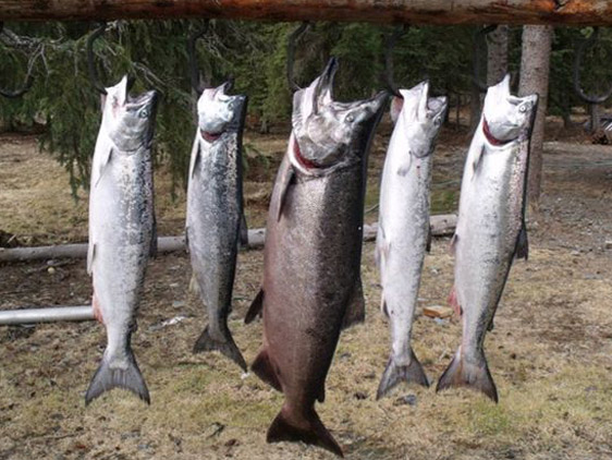 Alaska salmon fishing king salmon silver salmon and for Alaskan salmon fishing